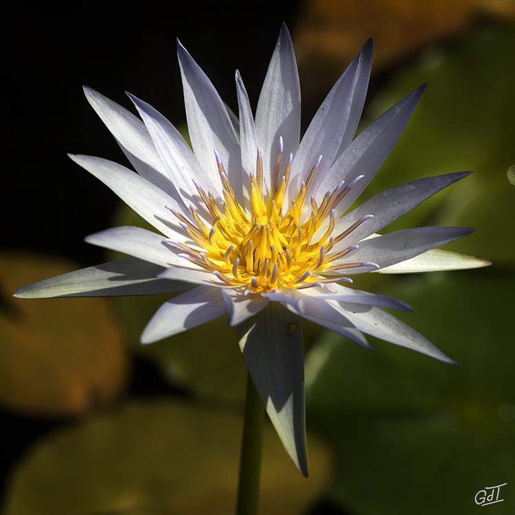 carsac-jardin-deau-nymphea-2646