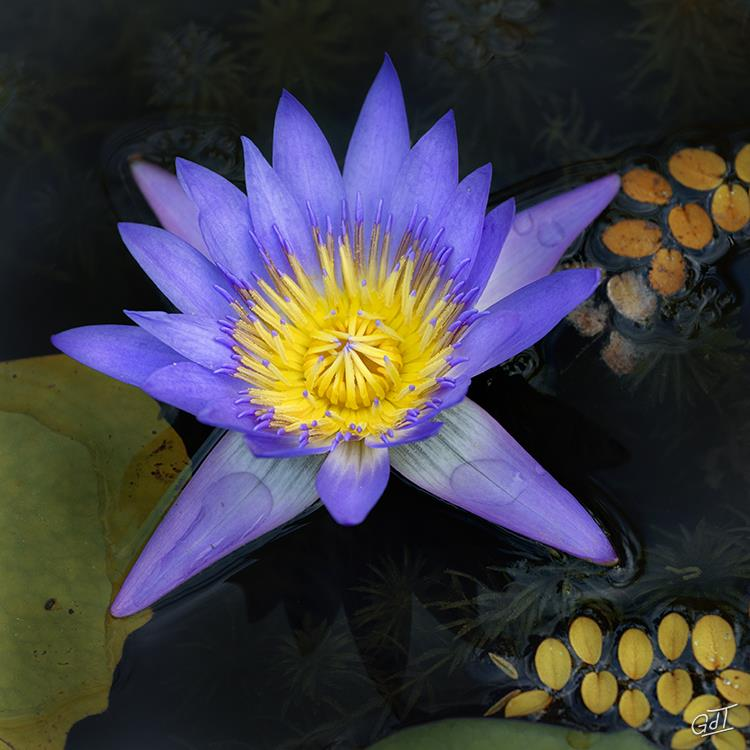 carsac-jardin-deau-nymphea-2680