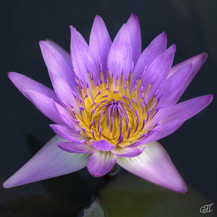 carsac-jardin-deau-nymphea-2682